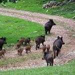 Peste Suina Africana: la sorveglianza passiva sui selvatici quale strumento fondamentale per l'individuazione precoce del virus nella Regione Marche: una prima esperienza in AV4