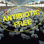 """Allevamenti avicoli """"antibiotic free"""": l'esperienza in Area Vasta 2"""