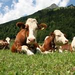 Il benessere degli animali da reddito al macello